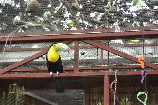 Foundation Jaguar Rescue Center: Keel Billed Toucan with injured beak