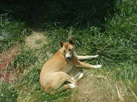 Columbian Park Zoo: Australian Wild Dog