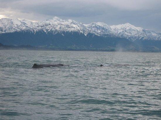 Whale Watch Kaikoura: Spem whale