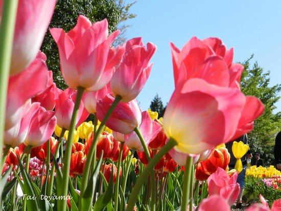 Tonami Tulip Gallery: ชมพูออกขาว