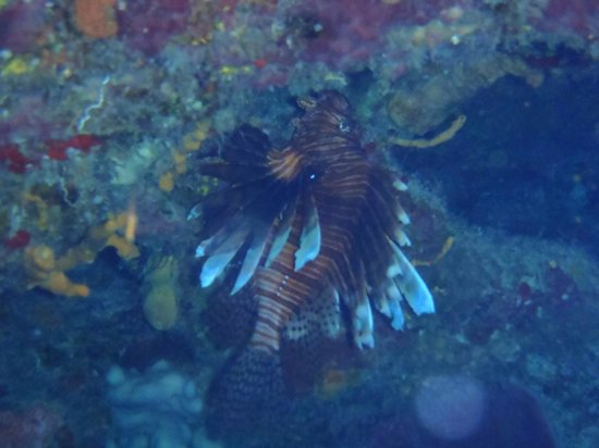 Scorpio Divers Tours: Lion fish at Cozumel