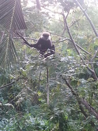 Unawatuna Apartments: Те самые обезьяны
