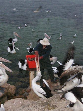 Pelican Feeding: Il Pescatore nutre i pellicani