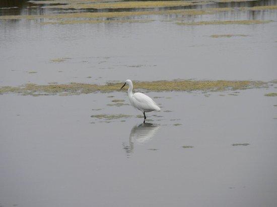 Les Pinasses du Bassin d'Arcachon  Tours : les oiseaux du Bassin