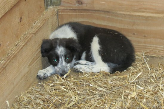 Muckross Traditional Farms: The Border Collie pup