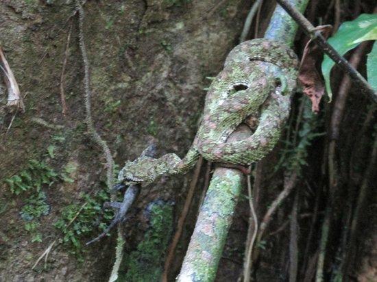 Drake Bay, Costa Rica: Eyelash viper eating a lizard.