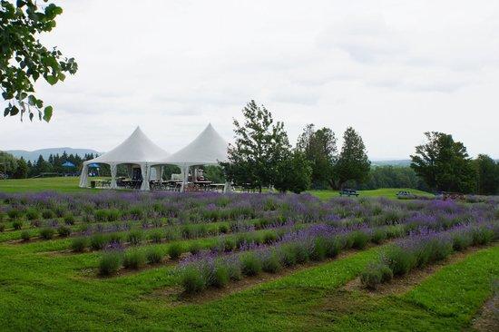 Bleu Lavande: Another view of Lavender Field