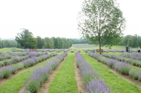 Bleu Lavande: The Lavender field
