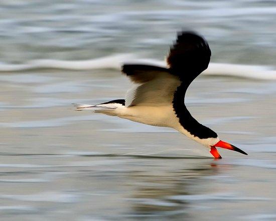 Seaside Seabird Sanctuary: Skimmer looking for dinner
