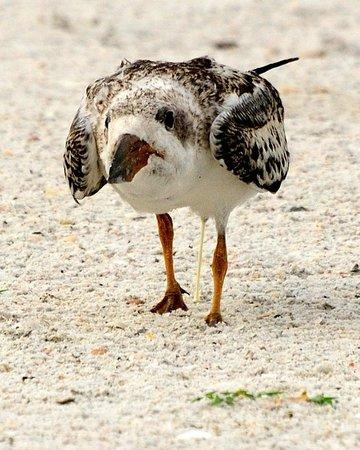 Seaside Seabird Sanctuary: Skimmer chick wondering where dinner is