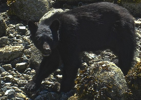 Chesterman Beach Bed and Breakfast: Mike's Bear Watching Trip