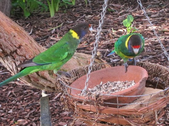 Llewellin's Guest House: The backyard parrots