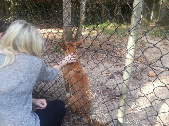 Daintree Wild Zoo: Dingo enjoying a pat!!