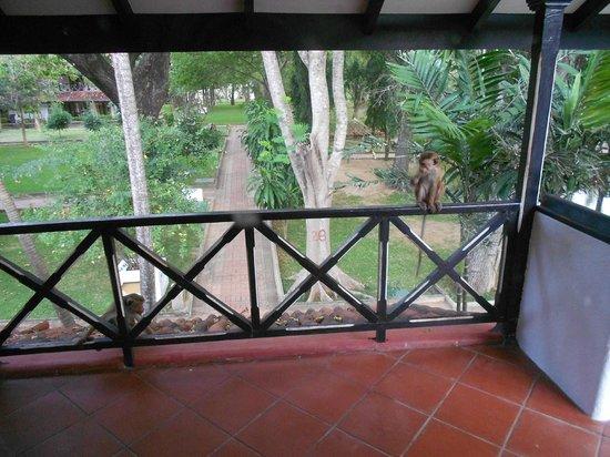 Cinnamon Lodge Habarana: scimmia sulla veranda