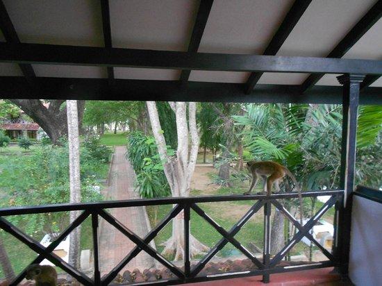 Cinnamon Lodge Habarana : scimmia sulla veranda