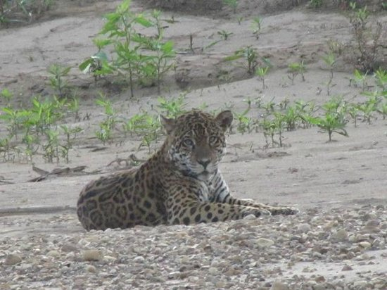 Kosnipata Valley: Jaguar on a gravel bar, 7/21/13
