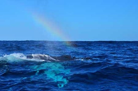 Whale Watch Vallarta: Humpback exhales and creates a rainbow in its mist.