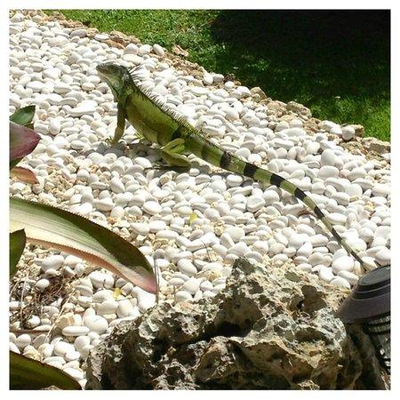 Villa Montana Beach Resort: iguana all over grounds