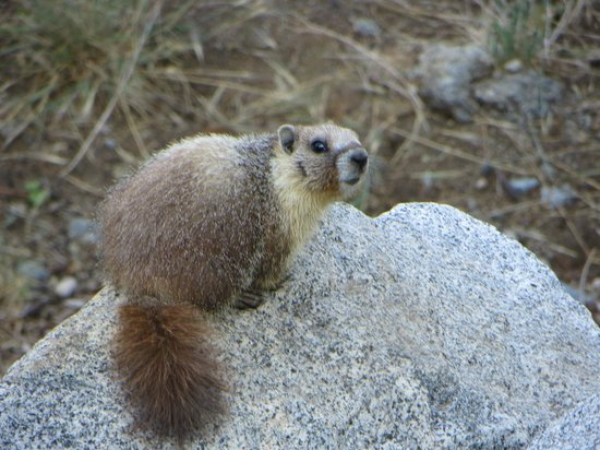 Sequoia High Sierra Camp: One of a family of 6 Marmots living nearby