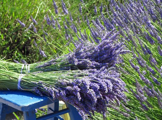 Jardin du Soleil : lavender bunches.  you can pick your own