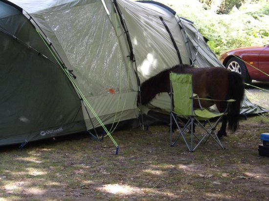 Brockenhurst, UK: Horse looking for food in tent