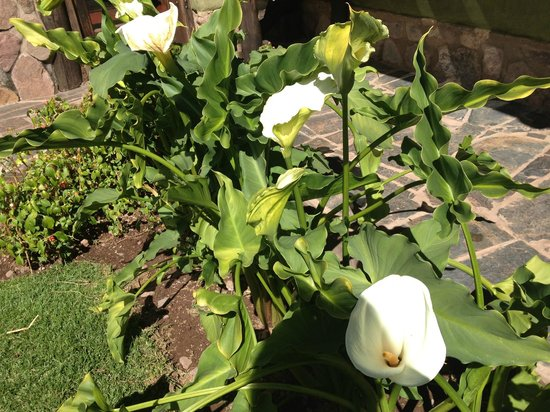 The Green House Peru: Gogeous Cala Lillies