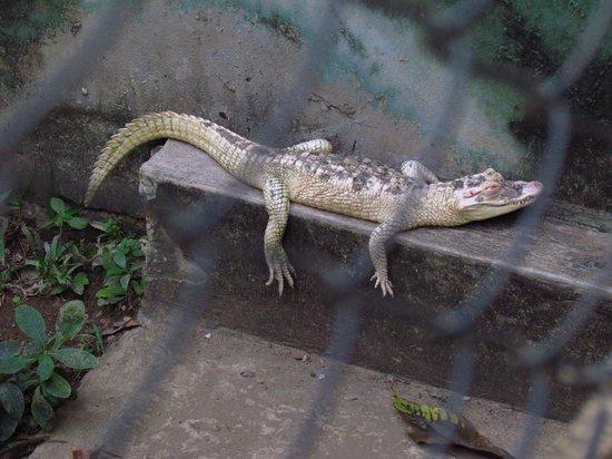 UFMT zoo: jacaré albino no zoológico da UFMT