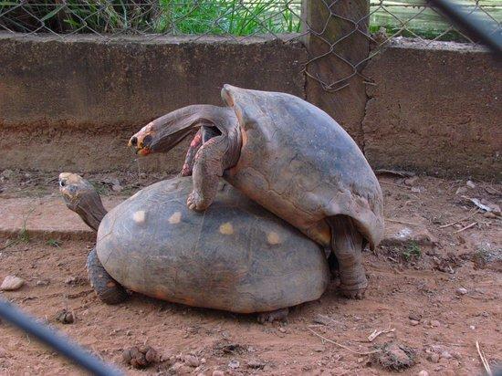 UFMT zoo: Tartarugas namorando no zoológico da UFMT