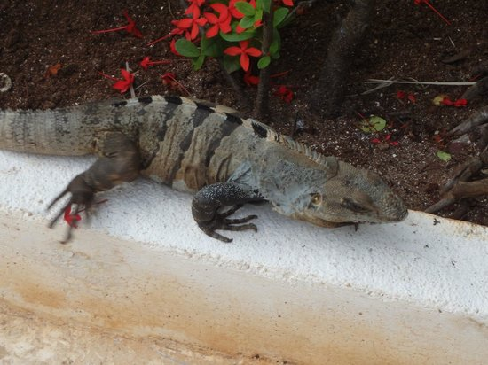 Iberostar Grand Hotel Paraiso: Mr. Iguana is everywhere!!