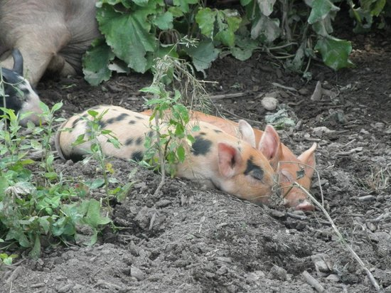 Shelburne Farms: Piglets at the farm barn!