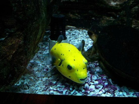 The Seagate Hotel & Spa: Yellow Puffer Fish in Seagate Fish Tank