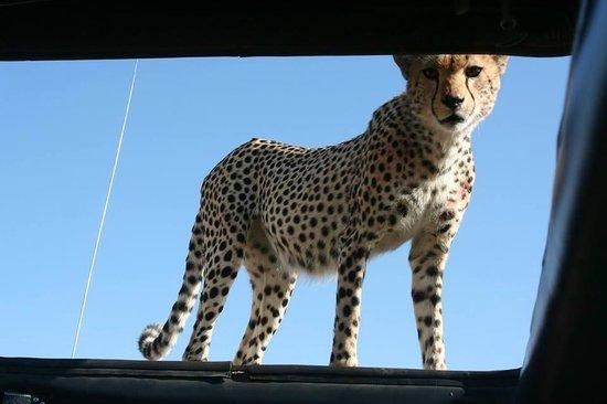 Duma Explorer: Cheetah on our roof!