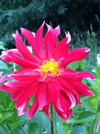 Moose Gardens Bed and Breakfast: One of 1,000 dahlias