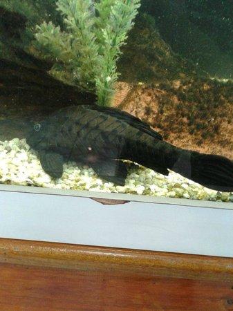Bosque da Ciencia: Bodó, Peixe muito apreciado na Região