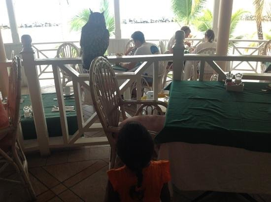 Coco Reef Resort & Spa Tobago: a real live owl at breakast