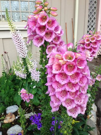 Lovers Point Park : Foxgloves
