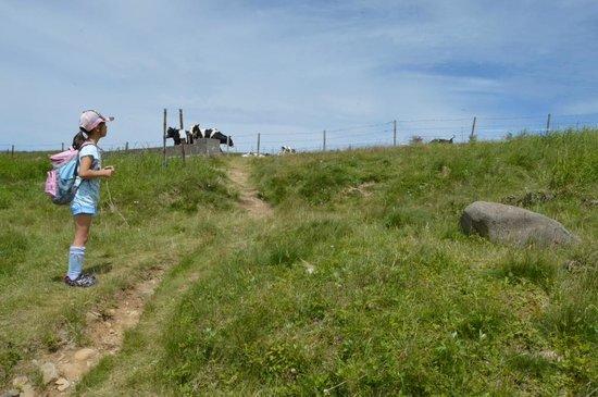 Utsukushigahara Highlands : 放牧されている牛