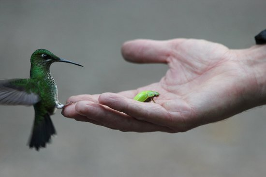 La Casona Lodge: hummingbird and beetle stopped at the hand of staff