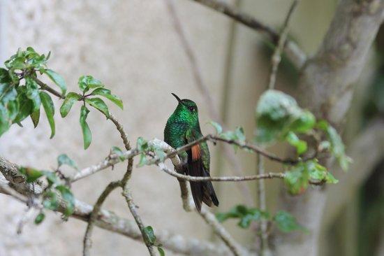 La Casona Lodge: Stripe-tailed hummingbird