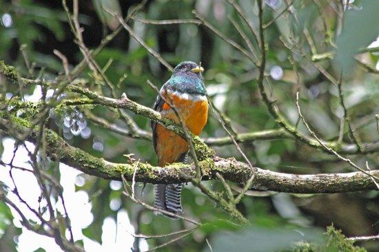 La Casona Lodge: Orange-bellied Trogon
