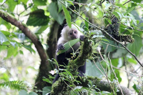 La Casona Lodge: White-faced Capuchin Monkey