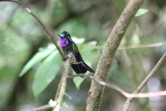La Casona Lodge: Purple-throated Mountain-gem