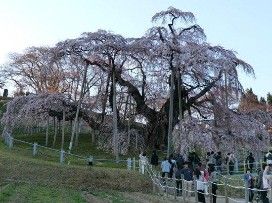 Miharutakizakura : 三春滝桜
