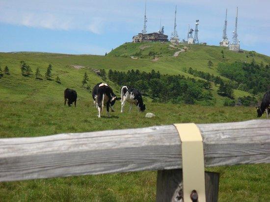 Utsukushigahara Highlands : 放牧牛と王ヶ頭ホテル