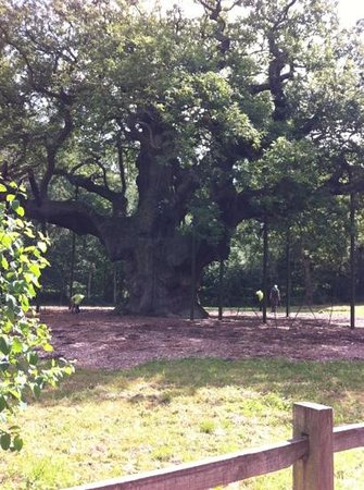 Sherwood Forest: 1 featured tree. the other 3 workmen are hiding behind the massive 36ft girth