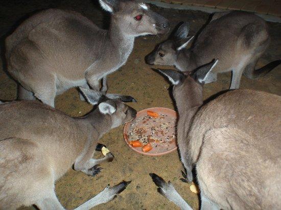 Yelverton Brook Eco Spa Retreat & Conservation Sanctuary: feeding time