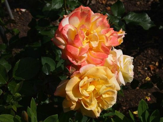 Abbey House Gardens: Yellow and pink roses