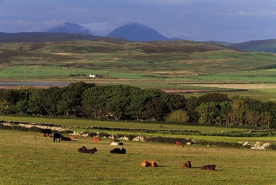 RSPB Loch Gruinart Reserve : RSPB Loch Gruinart is a working farm as well as a nature reserve, we have 200 Cattle & 200 Sheep