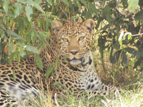 Kicheche Mara Camp: Resting after a kill