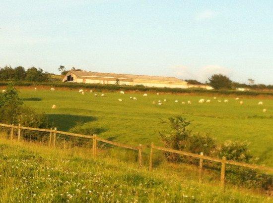 Westland Farm : Sheep in neighbouring farm
